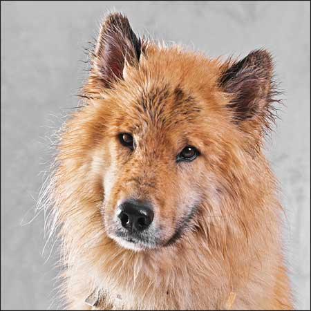 Hunde - Portrait - Eurasier