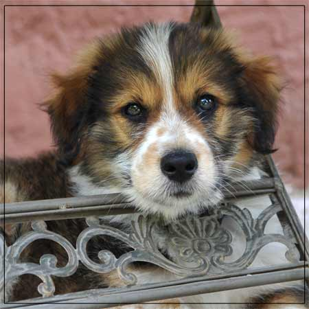 Welpe, Mischling aus Border-Collie + ? Hund